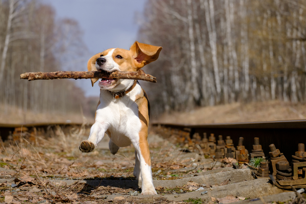 beagle running outdoors with a stick